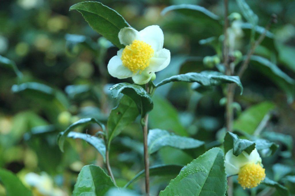 Чайное растение крупным планом