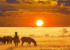 Ужин зебры в лучах заката