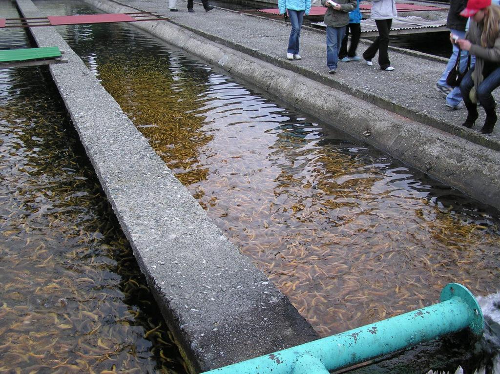 Форелевое хозяйство рыба