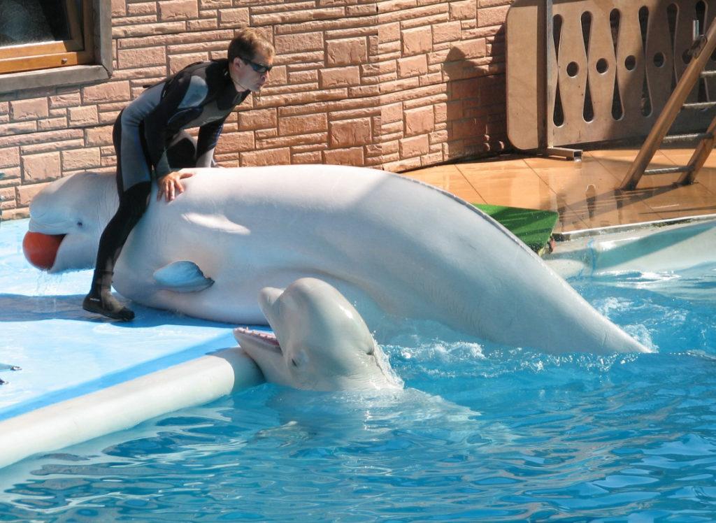 Дельфинарий Акватория в Адлере белуги