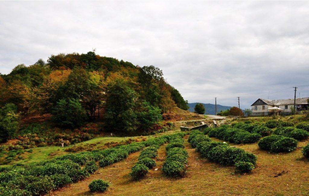 Калиновое озеро чайные плонтации