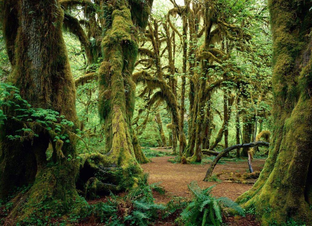 ТИСО-САМШИТОВАЯ РОЩА деревья